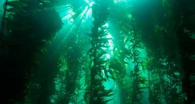 Kelp - NOAA's National Ocean Service
